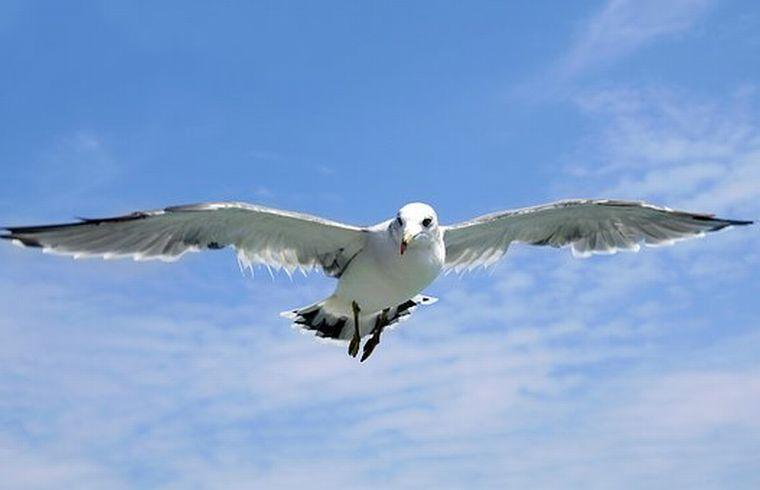 seagull-1684041__340